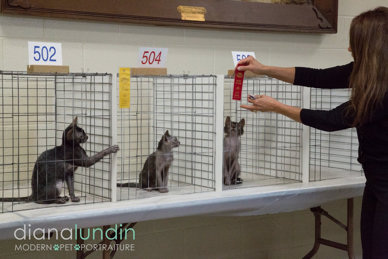 lykoi cats being judged at the Kat Knappers Cat Show
