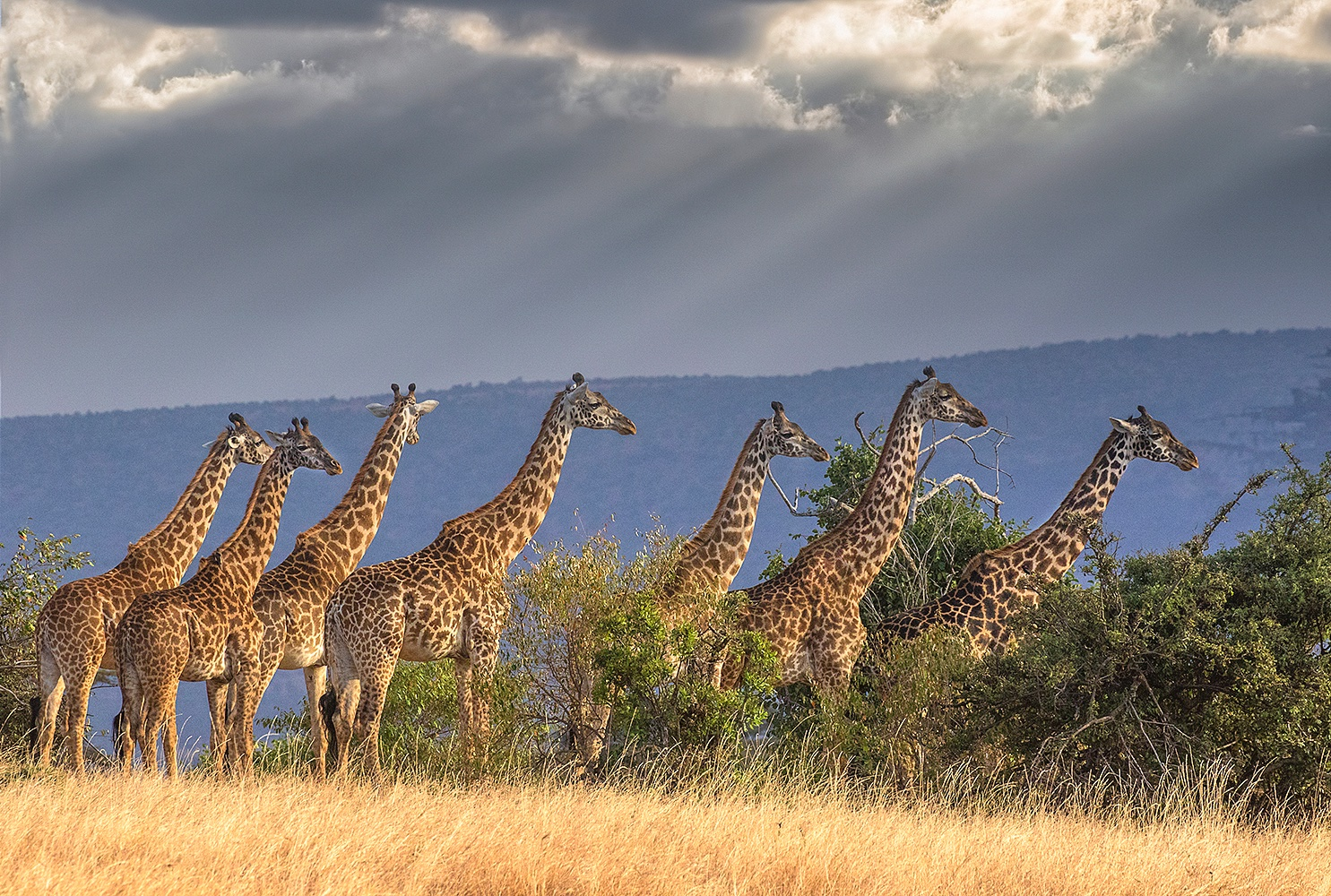 A tower of giraffes - Jim Zuckerman Photography